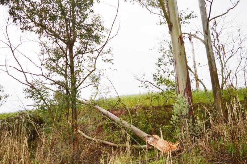 Árvores exóticas, plantadas próximo às redes, estão entre as causadoras de danos às redes de distribuição