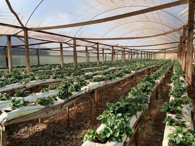 Rede trifásica aumenta a produção e gera mais renda ao produtor